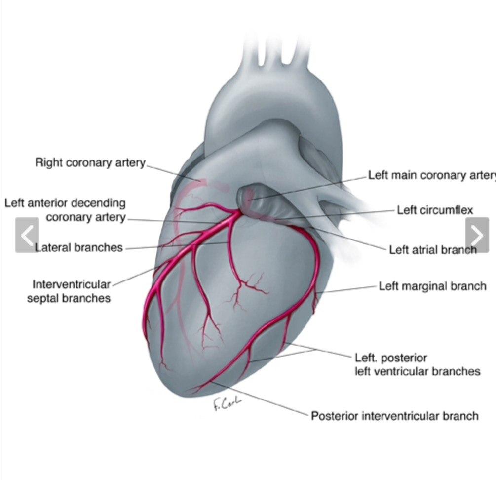 Normal coronary anatomy